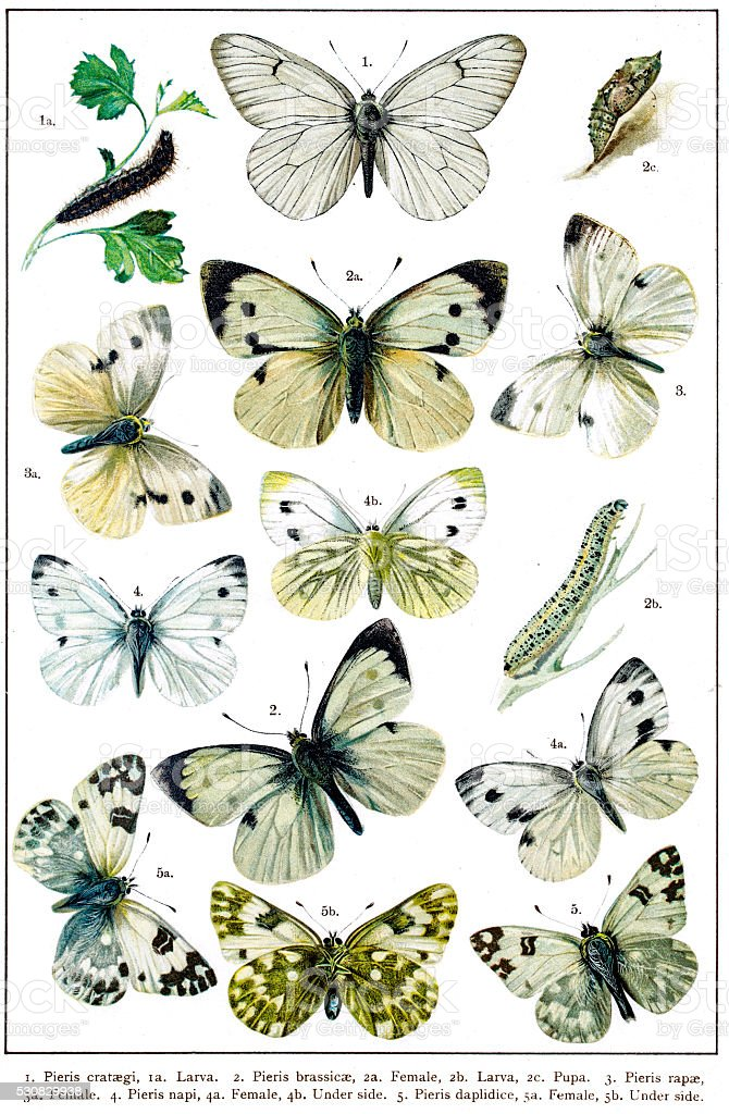 Pieris, the whites or garden whites butterflies vector art illustration