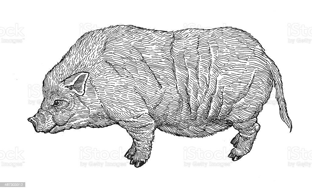 Schwein Lizenzfreies vektor illustration