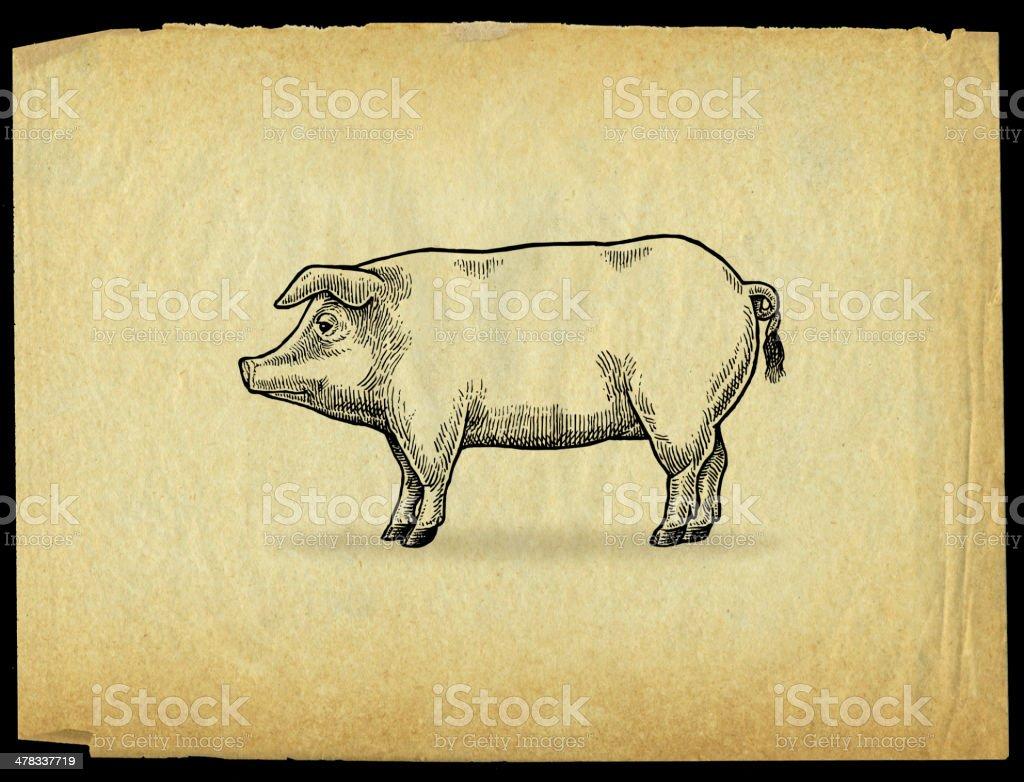 Pig or Hog, Swine - Farm Animal royalty-free stock vector art