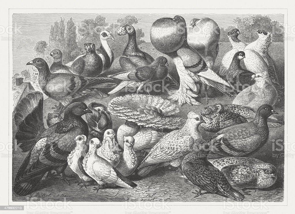 Pigeons, publisched in 1878 vector art illustration