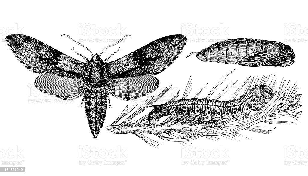Pine Hawk-moth (Sphinx Pinastri) vector art illustration