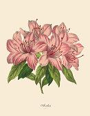 Pink Azalea Plant, Victorian Botanical Illustration