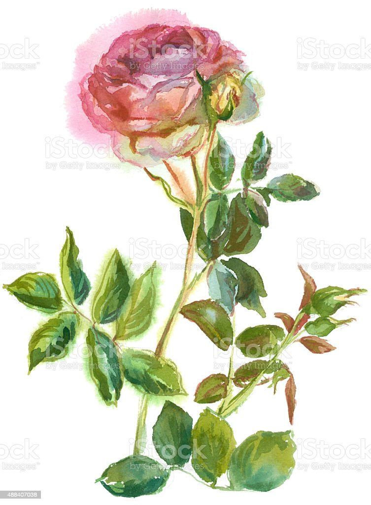 pink rose vector art illustration