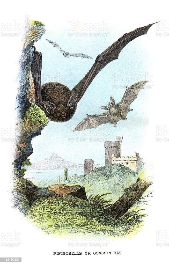 Pipistrelle or Common Bat royalty-free stock vector art