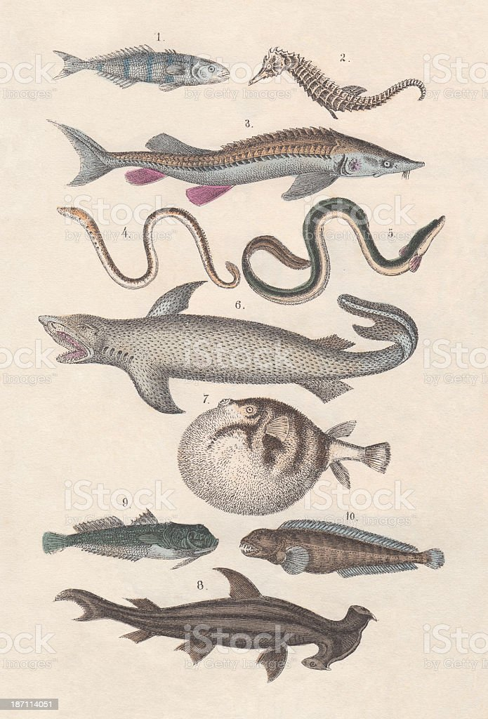 Pisces, hand-colored lithograph, published in 1880 vector art illustration