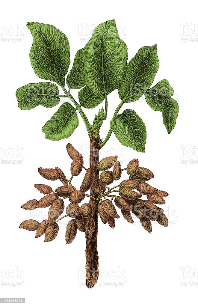Pistachio (antique botanical engraving) vector art illustration