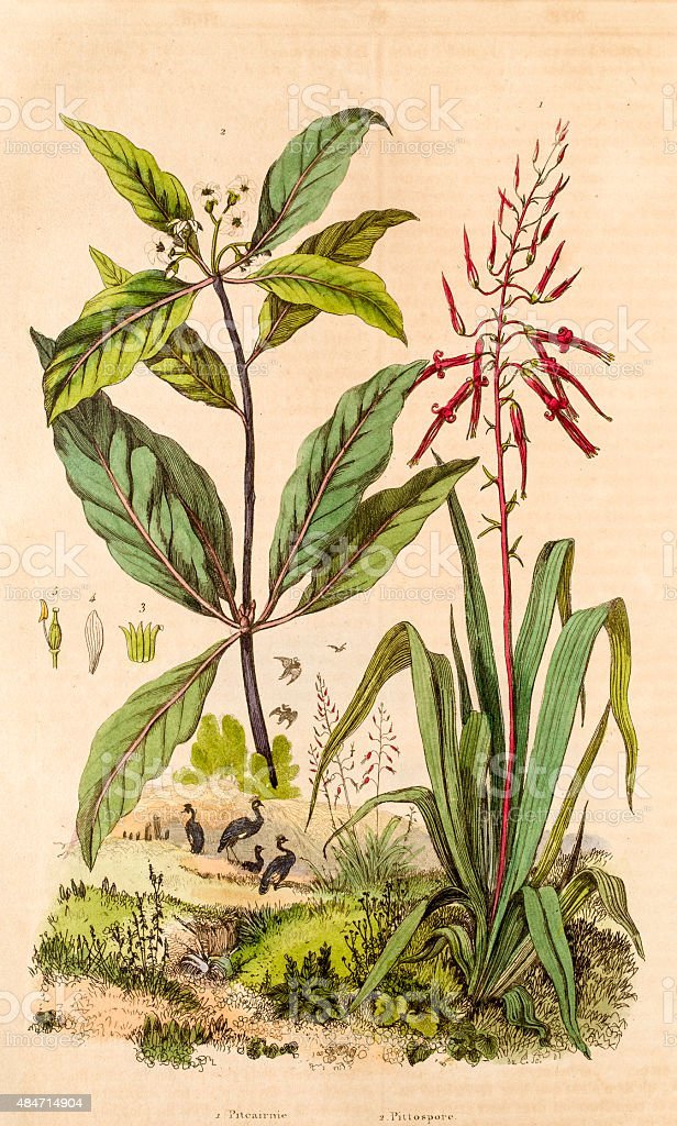 Pitcarnia and  Pittosporum, 19 century botanical illustration vector art illustration