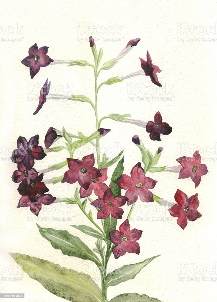 Plant fragrant tobacco. Nicotiana. Watercolor painting. Botanical illustration vector art illustration
