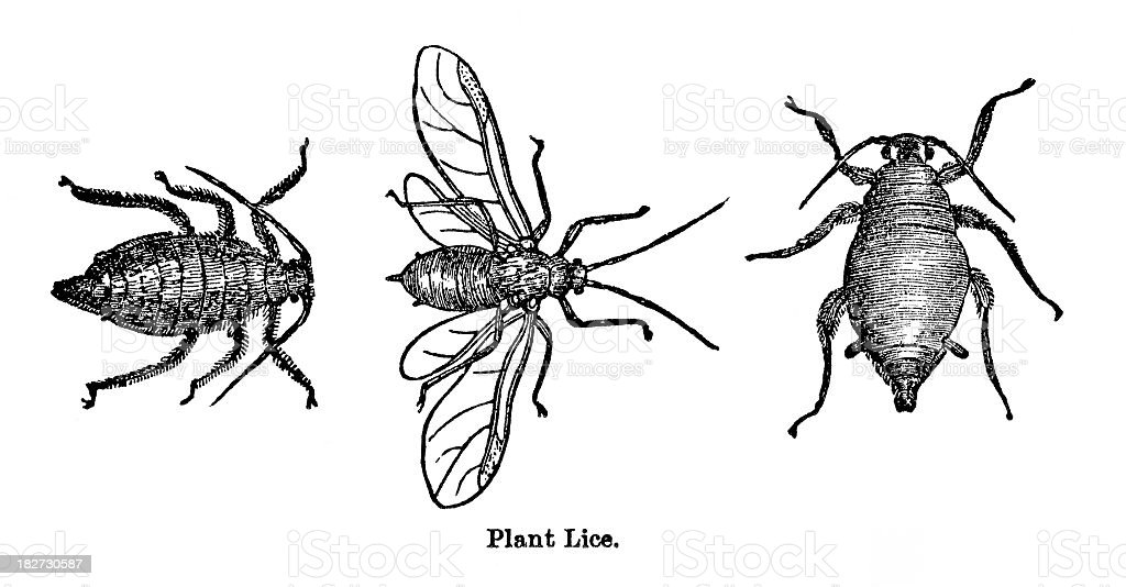 plant lice vector art illustration