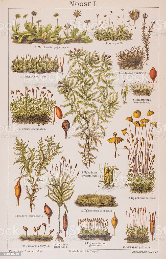 Plants moss Lithograph 1896 vector art illustration