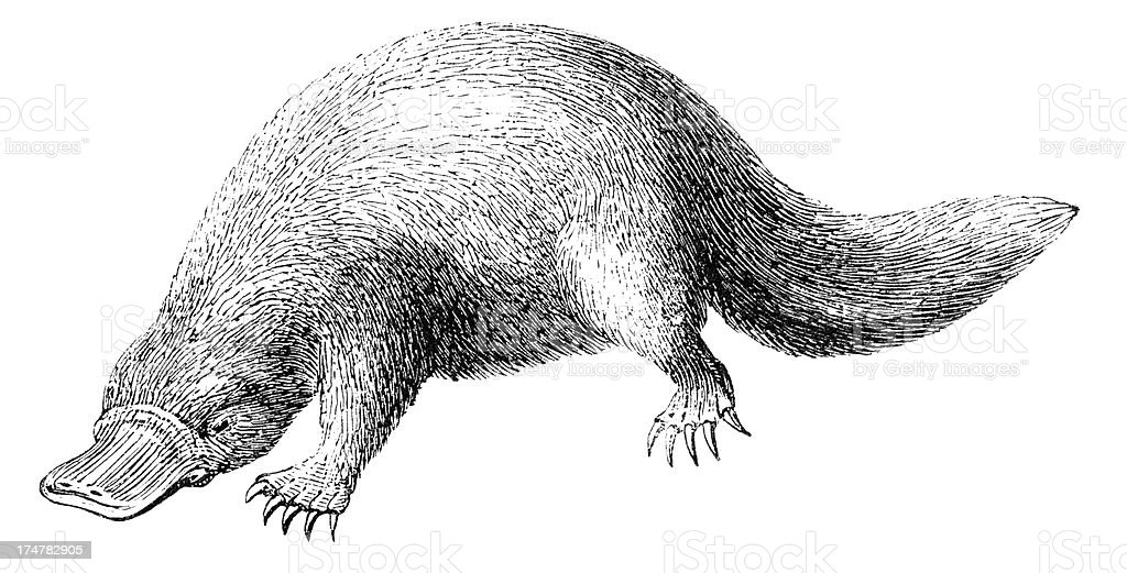 Platypus vector art illustration