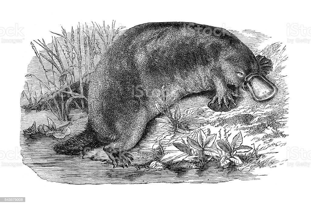 Platypus or duckbill engraving 1880 stock photo