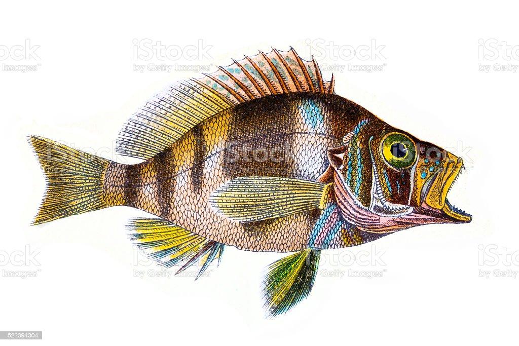 Plectropoma Puella (Beautiful Plectropoma) vector art illustration