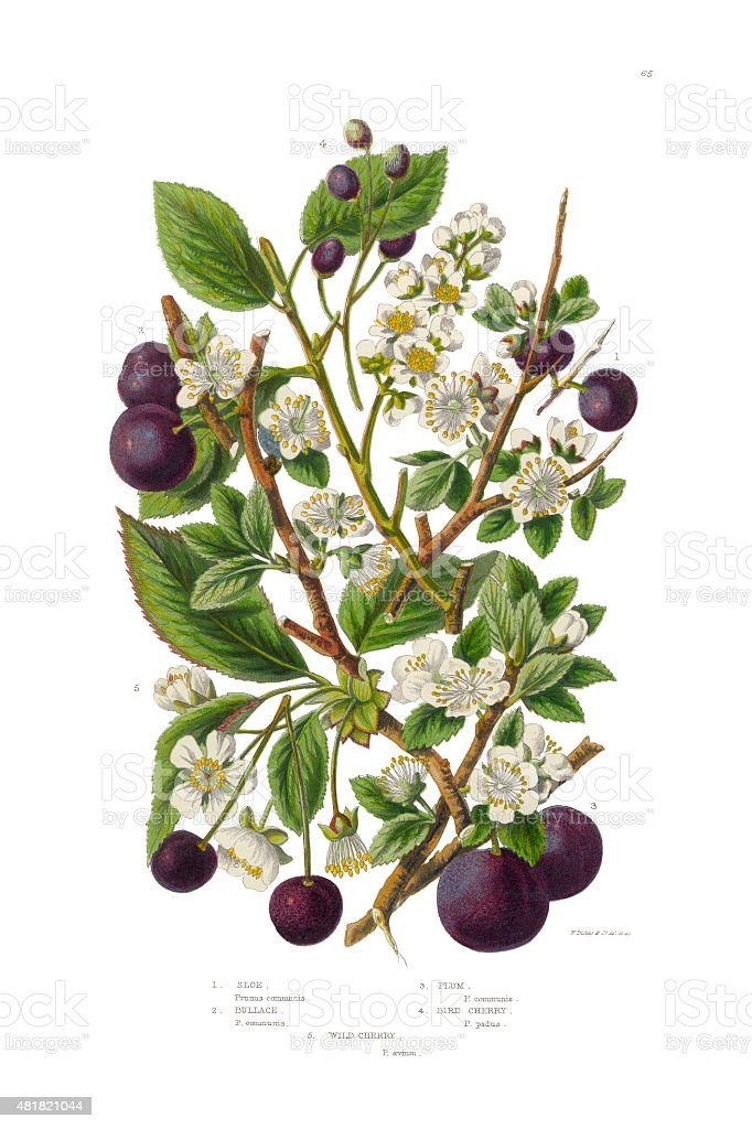 Plum, Cherry, Sloe and Bullace Victorian Botanical Illustration vector art illustration
