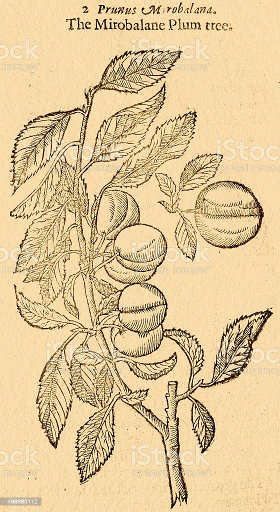 Plum tree with fruits, 17 century botanical illustration vector art illustration