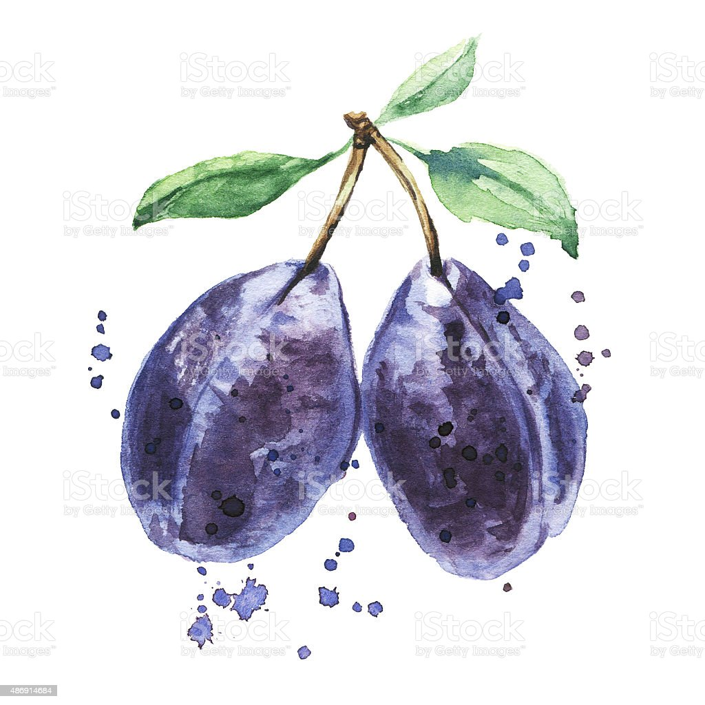 Plum, Watercolor hand drawn fruits vector art illustration