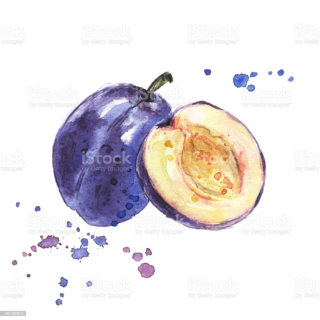 Plum. Watercolor illustration of fruit. Hand drawn painting on white vector art illustration