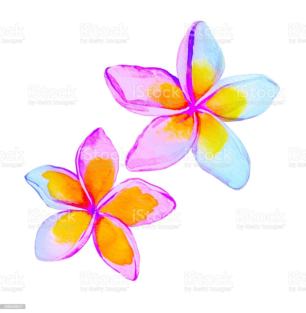 plumeria / frangipani flowers. vector art illustration