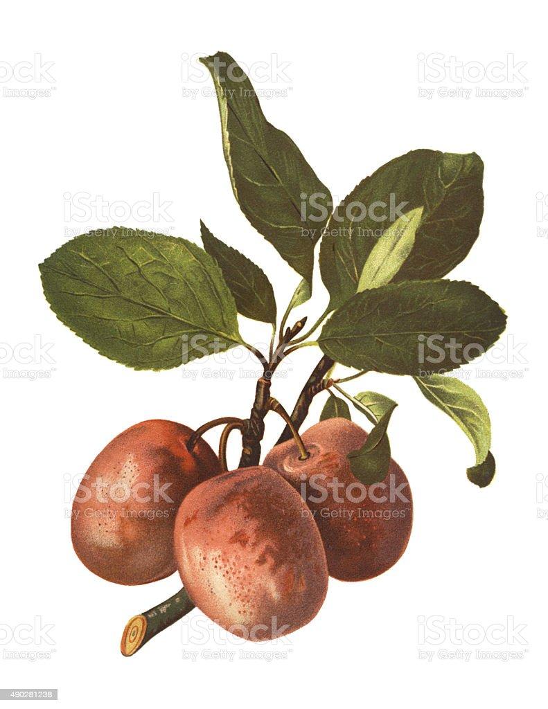 plums vector art illustration