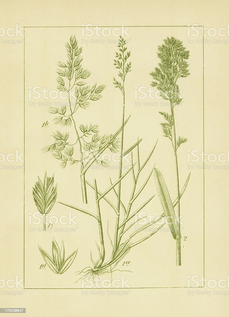 Poa cenisia and broadleaf bluegrass | Antique Flower Illustrations vector art illustration