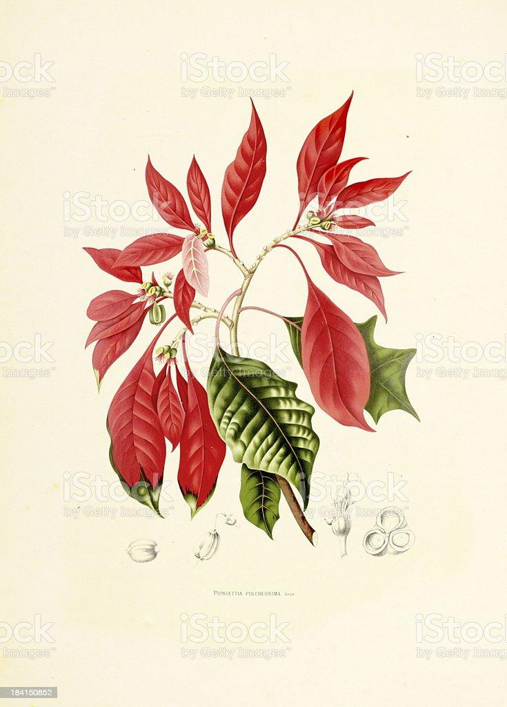 Poinsettia | Antique Plant Illustrations vector art illustration
