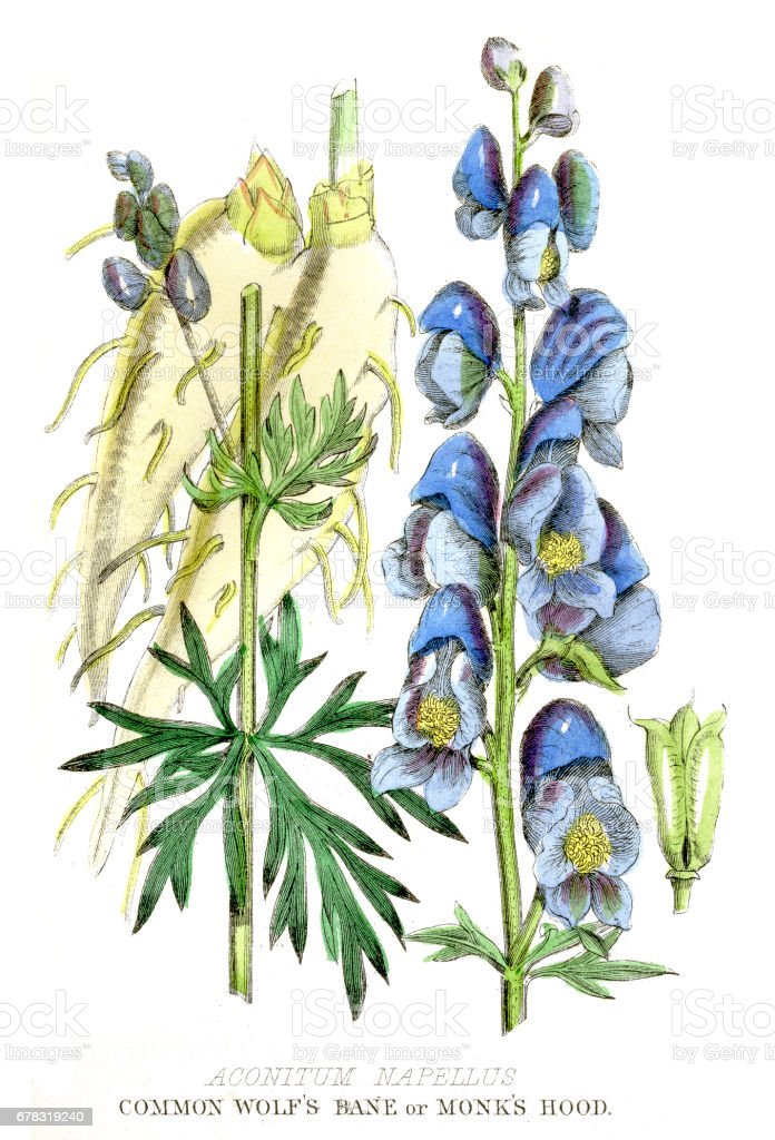Poison vegetable engraving 1857 vector art illustration