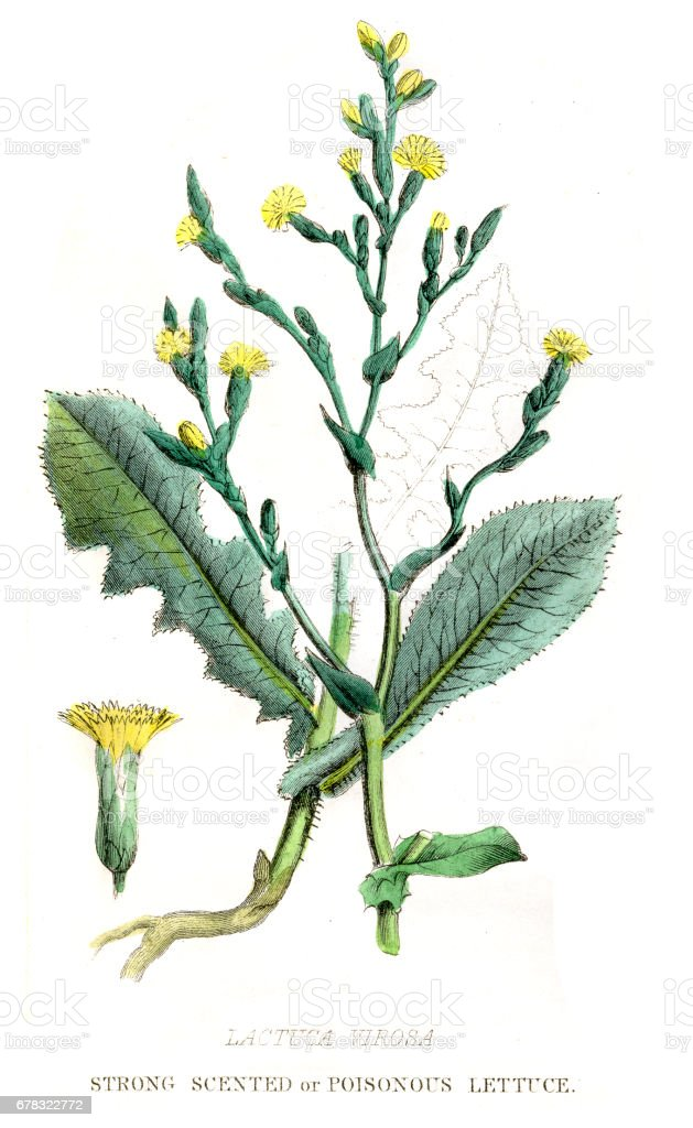 Poisonous Lettuce botanical engraving 1857 vector art illustration