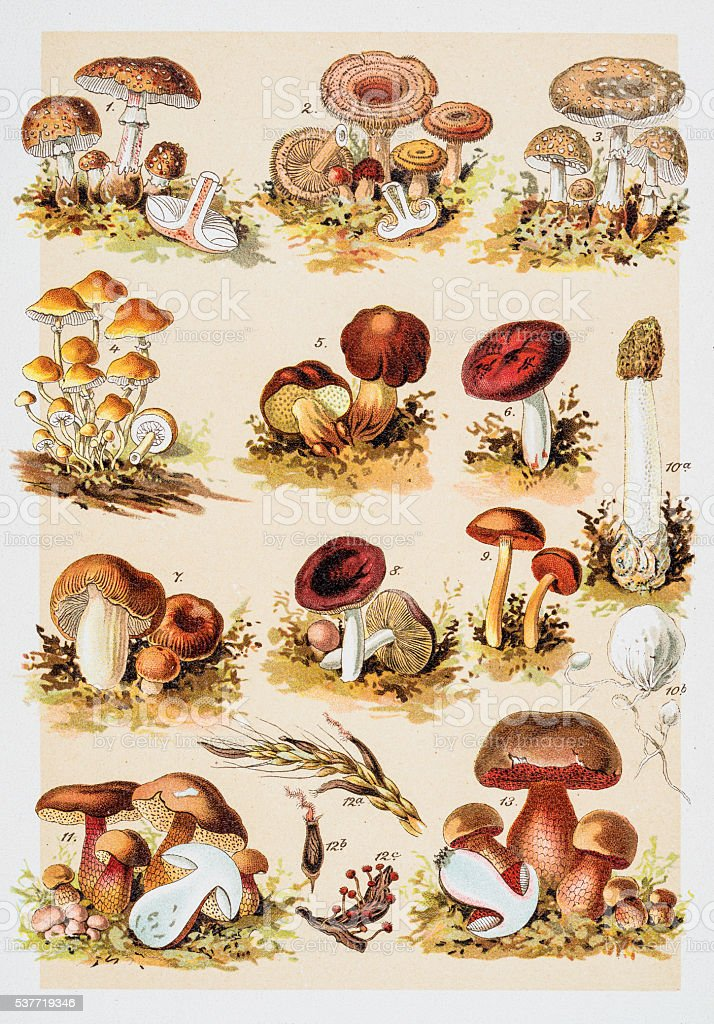 Poisonous Mushrooms Chromolithograph 1884 vector art illustration