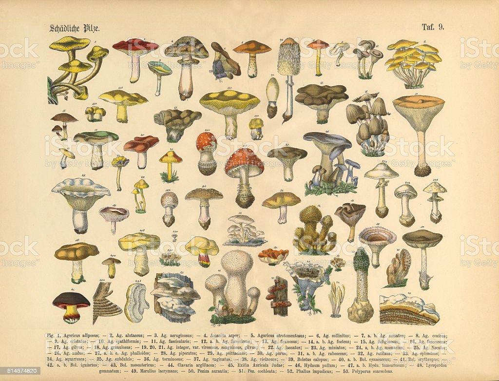 Poisonous Mushrooms, Victorian Botanical Illustration vector art illustration