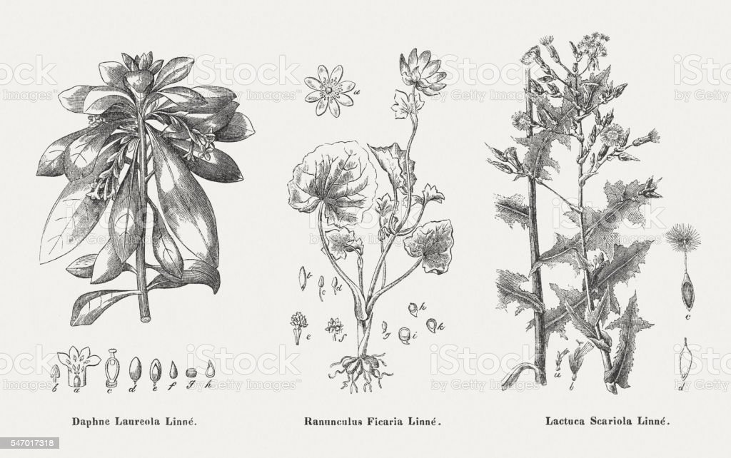 Poisonous plants: Spurge-laurel, Lesser celandine, Prickly lettuce, published in 1841 vector art illustration