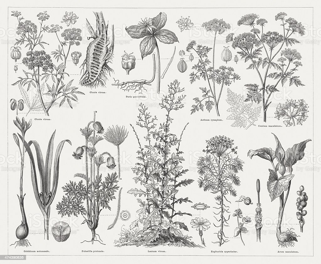Poisonous plants, wood engravings, published in 1876 vector art illustration