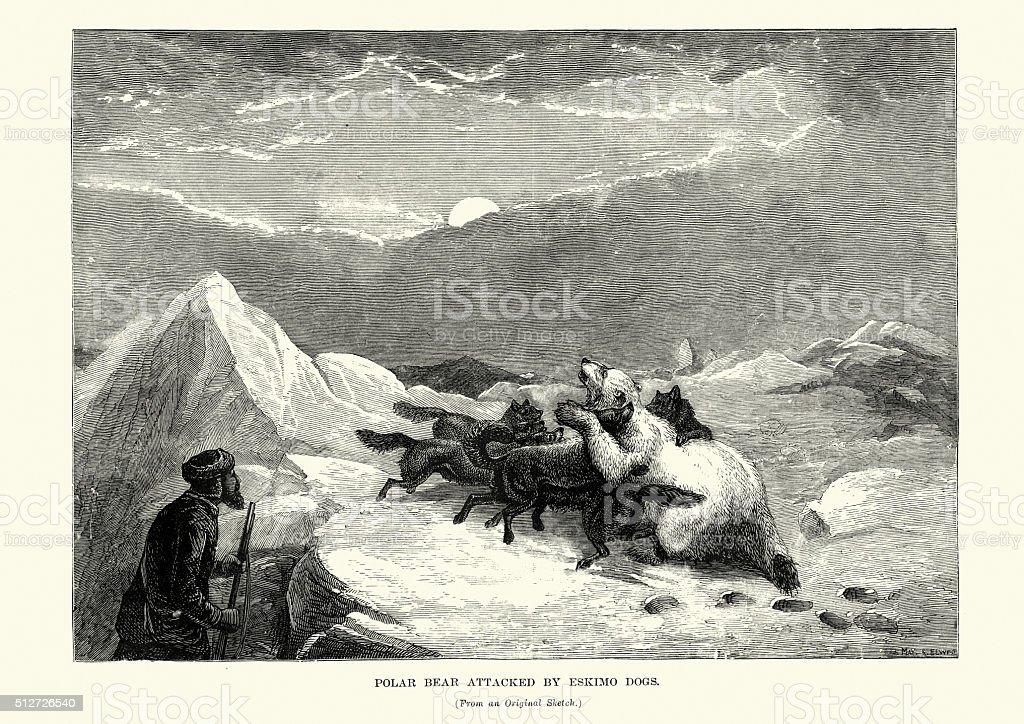 Polar Bear attacked by Eskimo dogs, 19th Century vector art illustration