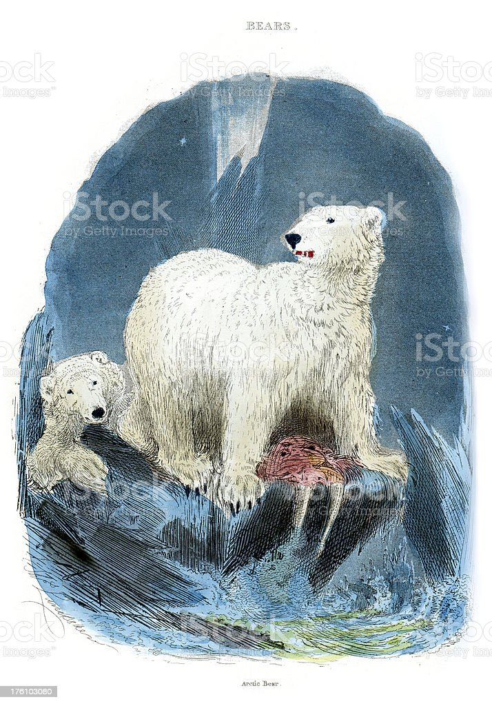 Polar Bear Ursus maritimus - Vintage colour engraving vector art illustration