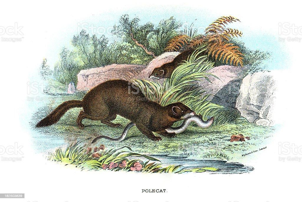 Polecat (Mustela putorius) vector art illustration
