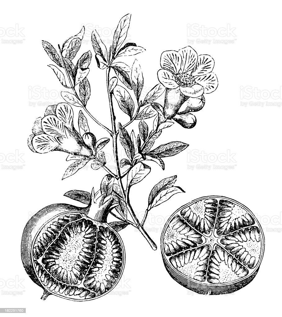 Pomegranate | Antique Design Illustrations vector art illustration
