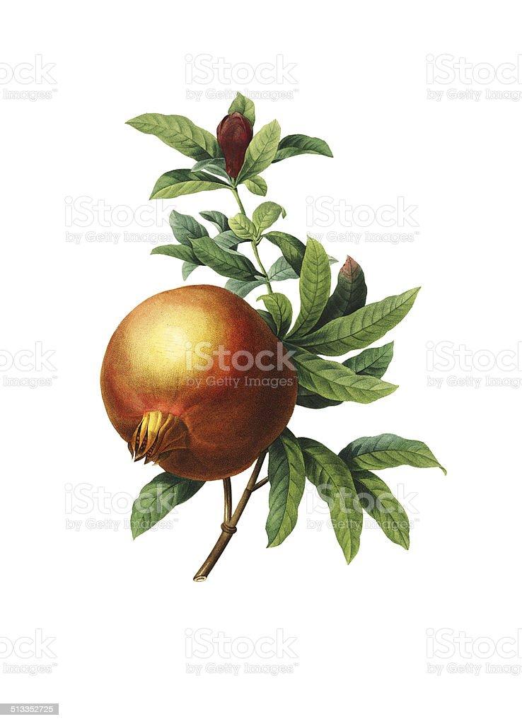 Pomegranate | Redoute Flower Illustrations vector art illustration