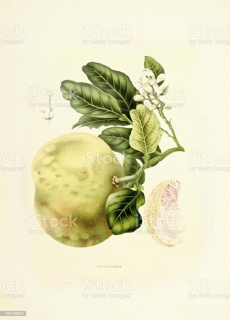 Pomelo | Antique Plant Illustrations vector art illustration