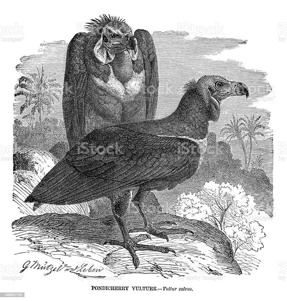 Pondicherry Vultures vector art illustration
