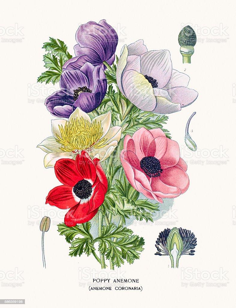 Poppy anemone vector art illustration