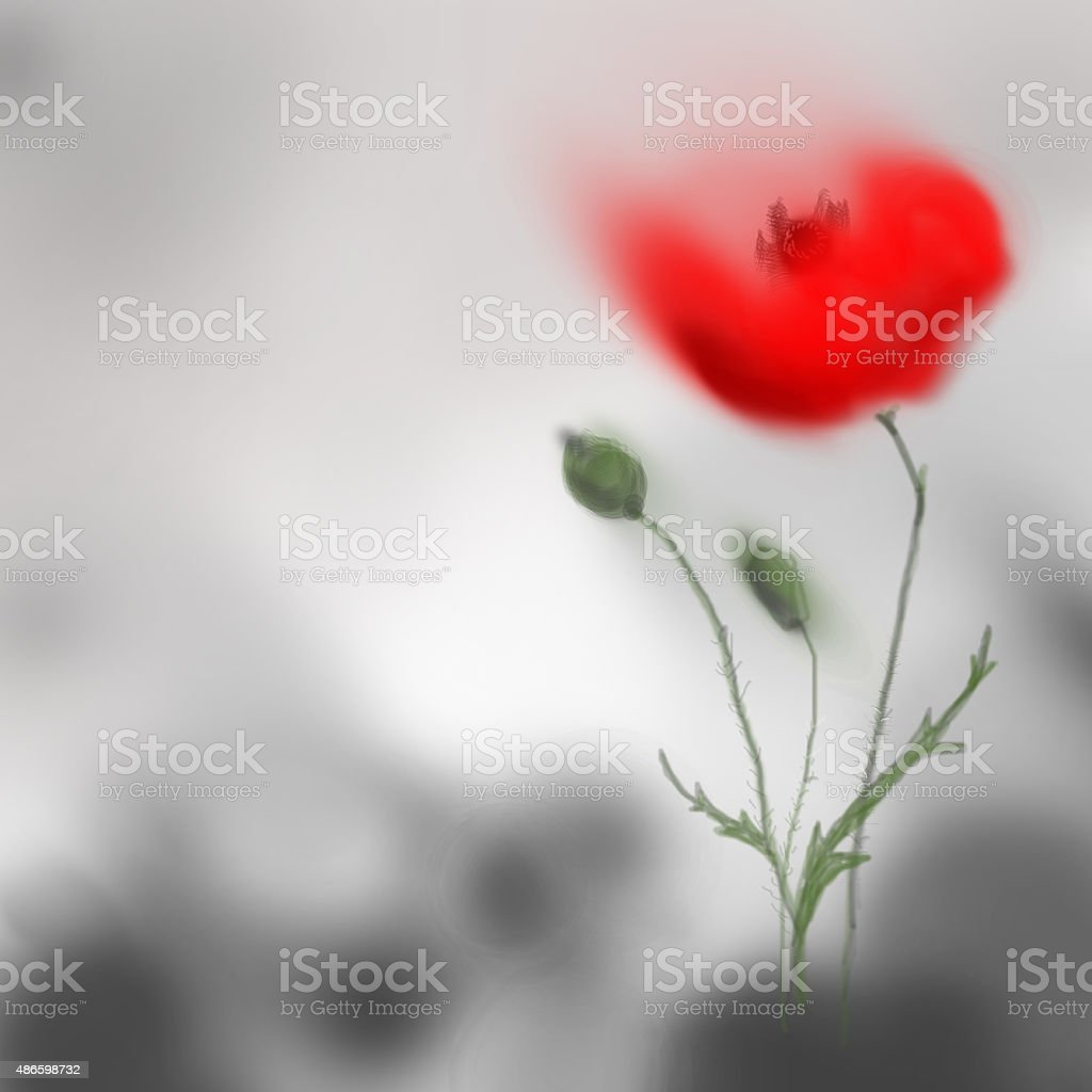 Poppy flower blooming red on grey background. Digital hand painting vector art illustration