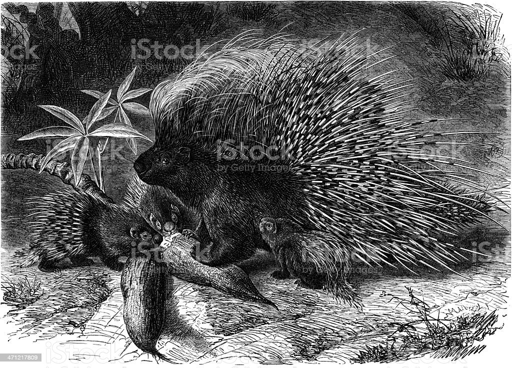 porcupine vector art illustration
