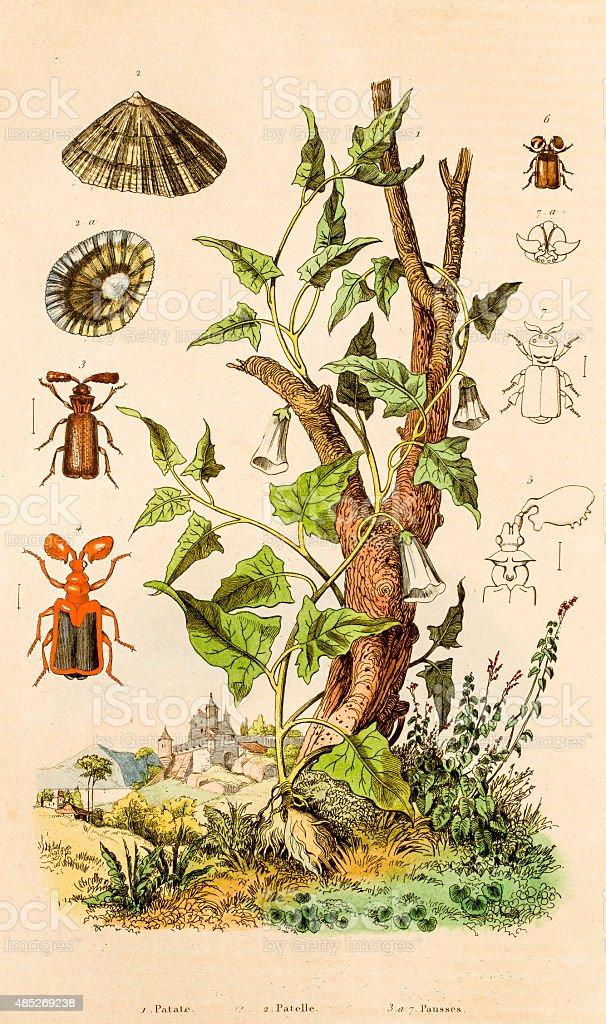Potato, Limpet,  beetles, 19 century botanical illustration vector art illustration