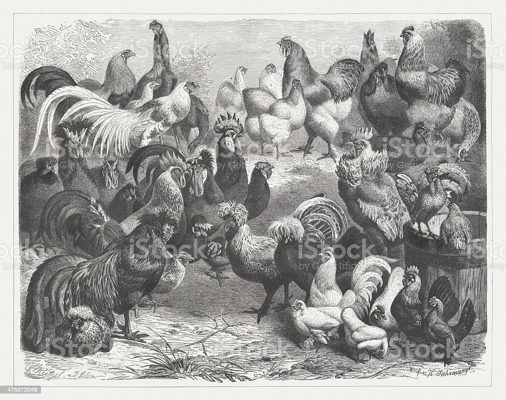 Poultry breeds, wood engraving, published in 1876 vector art illustration