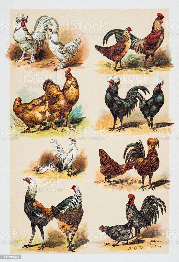 Poultry Hens Rooster engraving 1882 vector art illustration