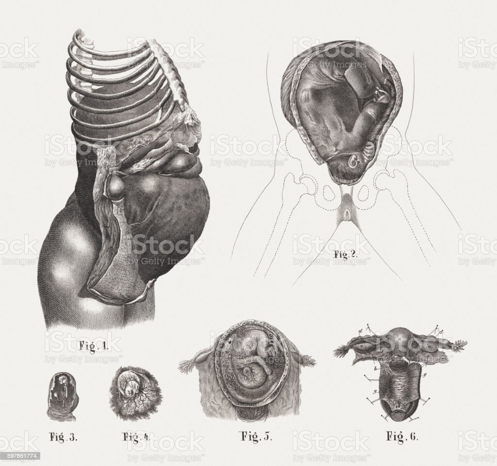Pregnancy with embryos at various stages, steel engravings, published 1861 vector art illustration