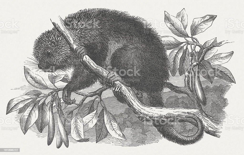 Prehensile-tailed porcupine (Coendou), wood engraving, published in 1875 royalty-free stock vector art