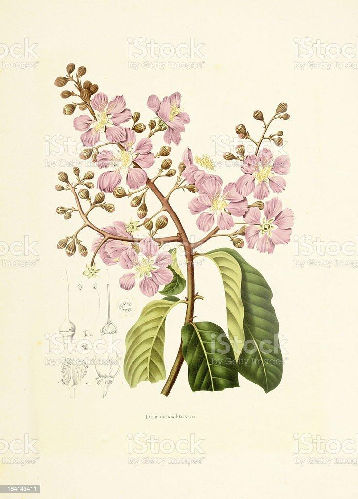 Pride of India | Antique Plant Illustrations vector art illustration
