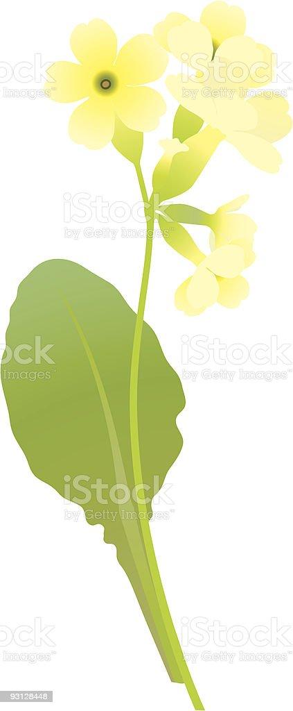 primrose royalty-free stock vector art