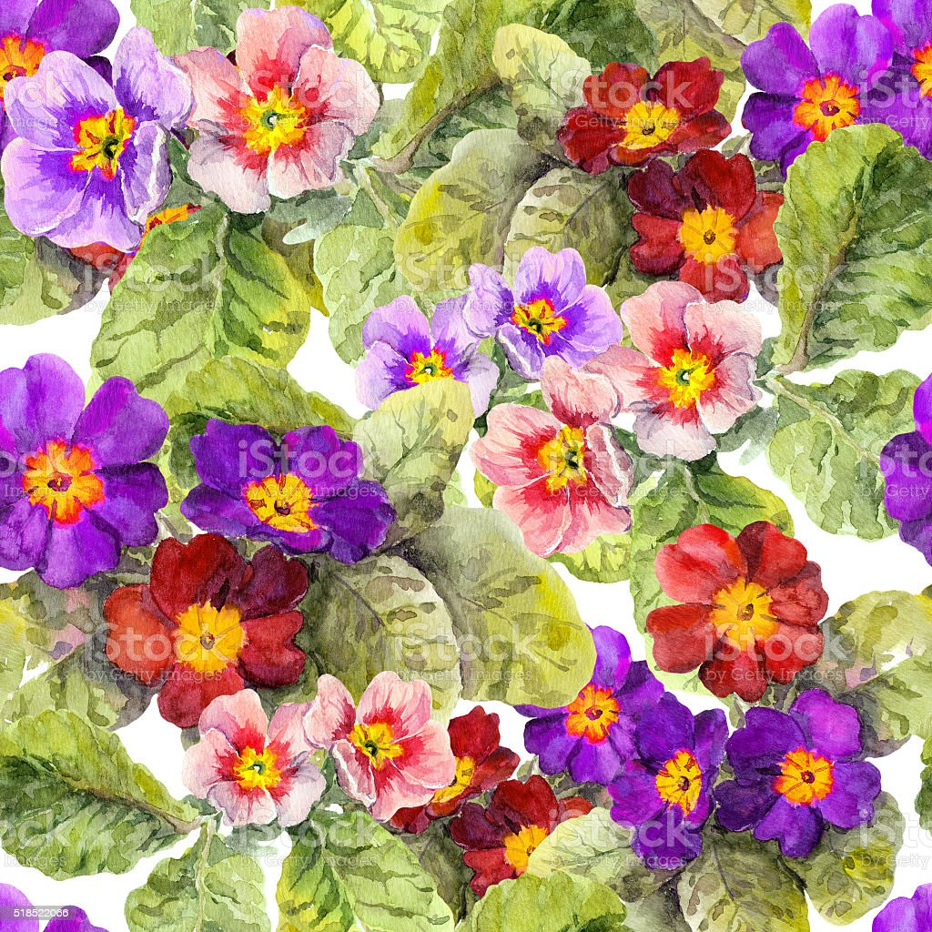 Primrose primula flowers. Seamless spring floral background. Watercolor vector art illustration