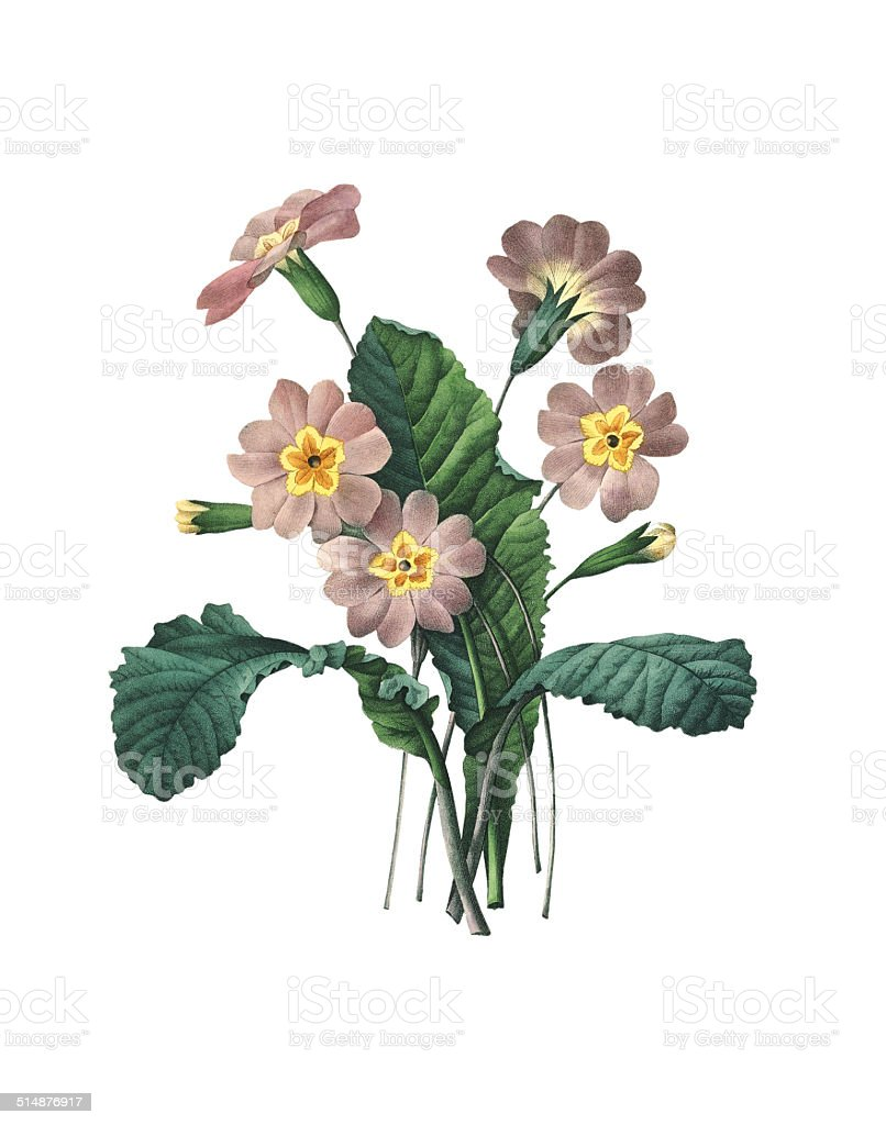Primrose | Redoute Flower Illustrations vector art illustration